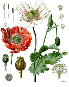 Papaver_somniferum_-_Köhler–s_Medizinal-Pflanzen-102